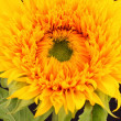 Sunflower — Stock Photo #30443409
