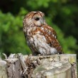 tawny owl — Stock Photo