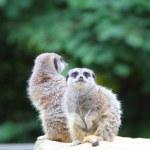 Meerkat — Stock Photo #32440287