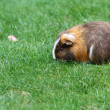 Guinea pig — Stock Photo #32581347