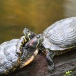 Stock Photo: Terrapin