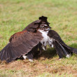 Bay winged hawk or Harris's Hawk mantling its kill — Stock fotografie
