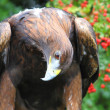 Golden Eagle looking curious — 图库照片