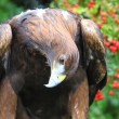 Stock Photo: Golden Eagle looking curious