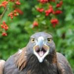 Golden eagle headshot — Stock Photo