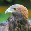 Stock Photo: Golden Eagle headshot