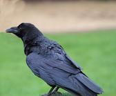 乌鸦 — 图库照片