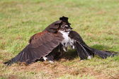 Bay winged hawk or Harris's Hawk mantling its kill — Foto Stock