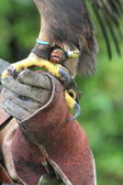 Golden eagle talons and falconers glove — Stock Photo