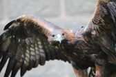Golden Eagle with open wings — Stock Photo