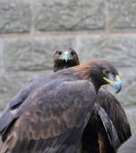 Golden Eagles — Stock Photo