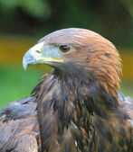 Golden Eagle headshot — Stock Photo