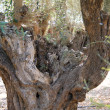 Olive tree trunk — Foto de Stock