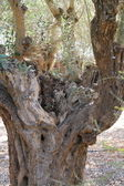 Olive tree trunk — Stock Photo