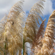 Stock Photo: Pampas grass
