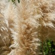 Pampas grass, Cortaderia selloana — Foto de Stock
