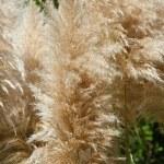 Pampas grass, Cortaderia selloana — Stock Photo