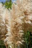 Pampas grass, Cortaderia selloana — Stock Photo