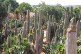Cacti at Bontanicactus,Ses Selines, Mallorca, Spain — Stock Photo