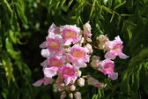 Pink Trumpet Vine, Port St. Johns Creeper, Zimbabwe Creeper, Queen of Sheba, Port John — Стоковое фото