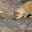 Foto de Stock  : Mongoose