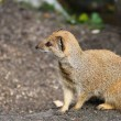 Stock Photo: Mongoose