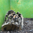 Tarantula — Stock Photo #35195181