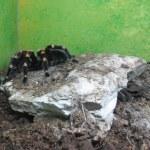 Tarantula — Stock Photo #35195515