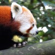 Red Panda — Stock Photo #35195887