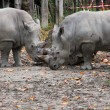 Stock Photo: Rhinocerous