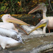 Pelican — Stock Photo #35680105