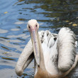 Pelican — Stock Photo #35680147
