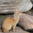 Mongoose — Stockfoto