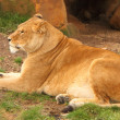 Foto de Stock  : Female Lion