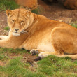 Female Lion — Stockfoto #39039023
