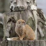 Meerkat — Stock Photo #39039051
