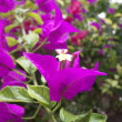 Foto Stock: Bougainvillea