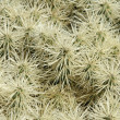 Cactus — Stock Photo #42066051
