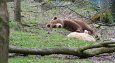 Sleepy European Brown Bear — Stock Photo