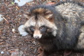 Raccoon dog, Nyctereutes procyonoides — Stock Photo