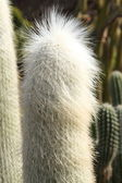 Cephalocereus senelis cactus — Stock Photo