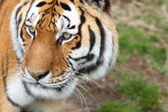Siberian tiger (Panthera tigris altaica) — Stock Photo