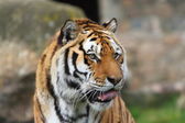 Siberian tiger (Panthera tigris altaica) — Photo