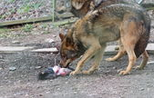 Iberian wolf (Canis lupus signatus) feeding — Stock Photo
