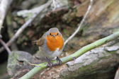 European robin (Enthacus rubecula) — Stock Photo