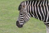Chapman's Zebra (Equus quagga chapmani) — Stock Photo
