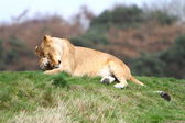 Lioness (Panthera Leo) — Stock Photo