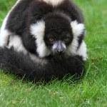 Black and white ruffed lemur(Varecia veriegata) — Stock Photo #44740817