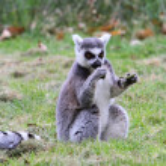 Ring tailed lemur (Lemur catta) — Stock Photo #44740823