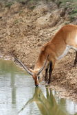 Kafue Flats Lechwe (Kobus lechwe) — Stock Photo